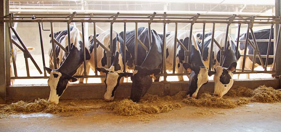 le vacche del perdono